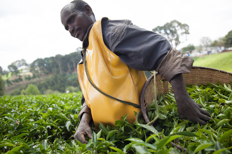 Agriculture data survey. Image of tea picker in Kitabi, Rwanda